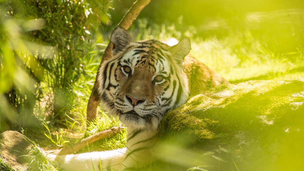 Oregon Zoo tiger, Mikhail, dies one day before turning 20 years old