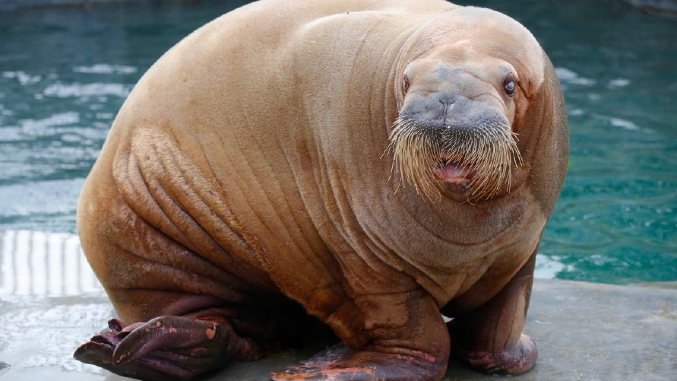 Hello, ladies: 3,650 lb  walrus greets new girlfriend at Point